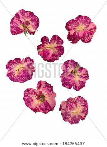 Dry Delicate Rose Pressed Flowers Isolated On White