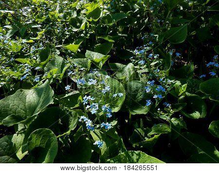 Siberian Bugloss (brunnera Macrophylla