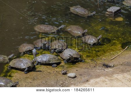 Turtles sunning on a log in the water