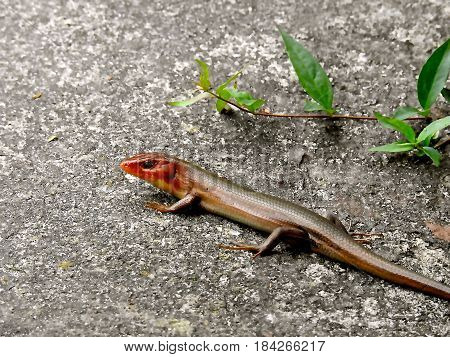 LIZARD, REDHEADED SKINK, BROWN SLEEK BODY SUNNING ON CARPORT.