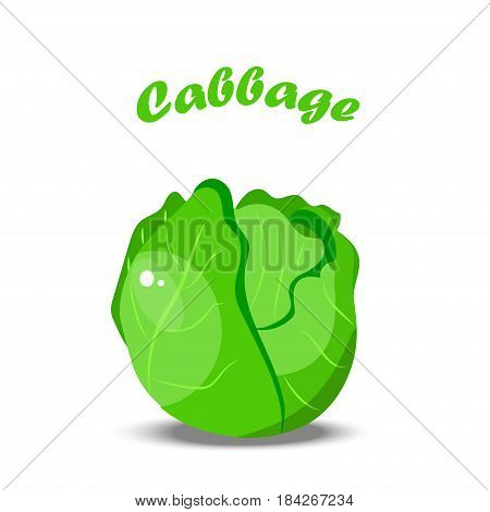 Vector illustration of green fresh cabbage. Summer fresh farm design element. vegetarian or diet vegetable menu.