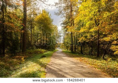 Autumn forest in sunny weather, soft filter applied -colorful autumn background.Golden autumn trees in the forest and path with fallen autumn leaves in sunny autumn day. Autumn trees in the forest with yellowed foliage - autumn nature landscape view