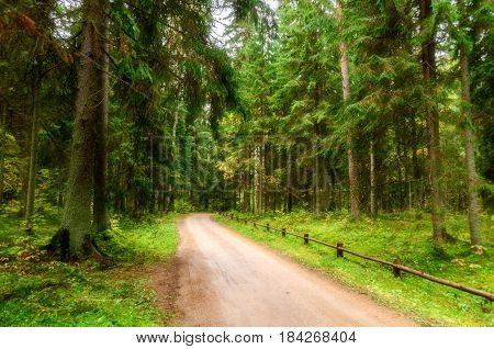Spruce spring forest in cloudy day -soft filter applied. Conifer forest green trees in spring forest - cloudy spring forest landscape view. Forest path receding into the distance in the spring forest. Nature spring landscape