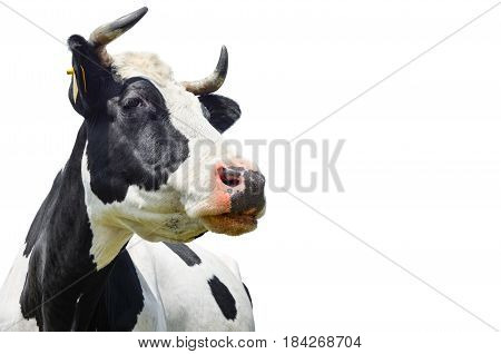 Spotted black and white cow isolated on white with empty space.Funny cute black and white cow isolated on white. Cow muzzle close up. Farm animals.  Young cow close looking at the camera