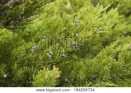 Juniper bush with berries, cade outdoors. Spring background.