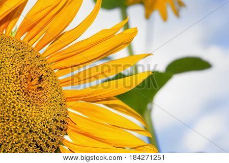 Sunflower natural background on cloudy sky