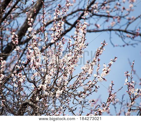 Beautiful flowers on apricot tree in spring .