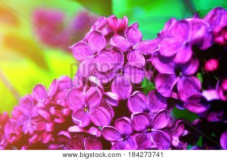 Spring background -blooming beautiful spring pink lilac flowers lit by spring sunlight. Selective focus at the central spring flowers, soft focus processing. Closeup of spring lilac flowers in blossom -spring flowers landscape