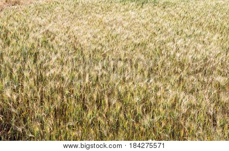 Grain field with cereal crops ready for harvesting.