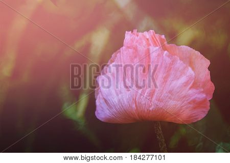 Pink garden poppy. Summer solar background. Photo wall paper. Soft focus, toning.