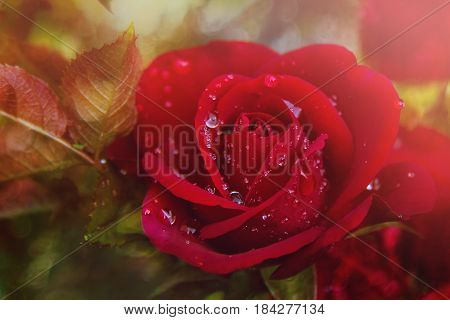 Red rose in dew drops. Summer solar background. Photo wall paper. Soft focus, toning
