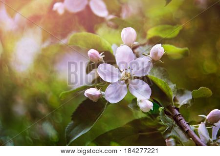 Blossoming apple, flowering apple  Close up. Spring solar background, photo wall paper. Soft focus, toning