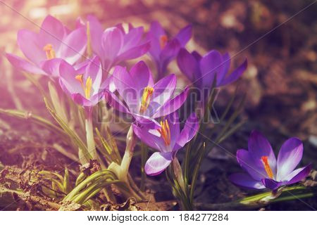Crocuses. Close up. Spring solar background, photo wall paper. Soft focus, toning.