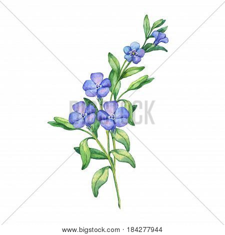 Periwinkle. Branch of first spring flowers - Vínca mínor. Hand drawn watercolor painting on white background. Element for invitations, posters, greeting cards, blogs.