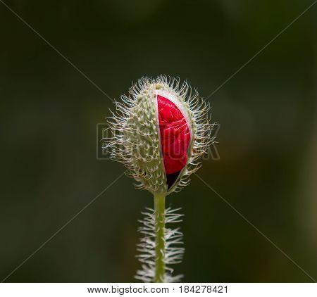 Partly open flower bud of Field Poppy