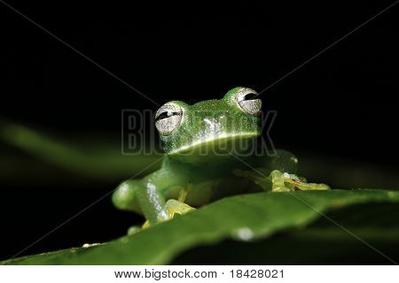 glass frog hyalinobatrachium  amphibians mainly nocturnal species endangered need special protection and conservation measures amazon basin Bolivian rain forest image with copy space nice background