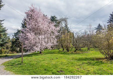 A view of a glorious Cherry tree in full bloom. Location is Seatac Washington.