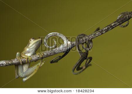 frog amphibian treefrog rainforest branch copy space background
