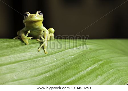 frog amphibian treefrog rainforest branch tropical tree frog on green leaf with copy space tropical amazon jungle animal