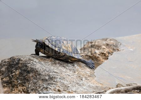 Turtle Sunning on Rock at Blue Hole Key Deer Blvd. Big Pine Key West Florida