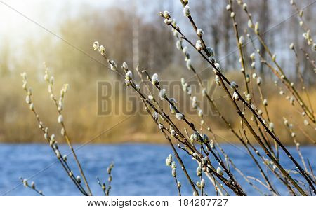 Willow branches with fluffy catkins. Beautiful pussy willow flowers branches. Spring and easter landscape. Flowering willow on the banks of the river