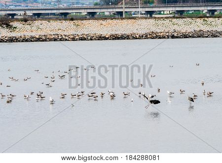 Large gray heron landing in water of a shallow lake in South Korea with large flock of seagulls in water and rocky shoreline and highway in the background