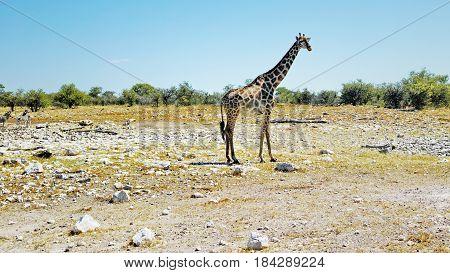 Giraffe Standing in the Savanna - Etosha National Park, Namibia