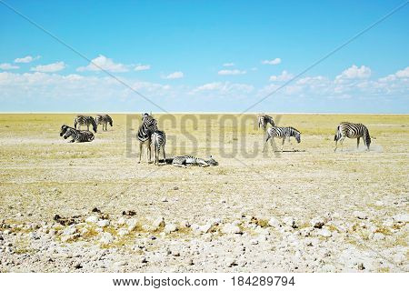 Zebra Herd - Etosha National Park, Namibia: Zebra herd grazing and relaxing on a green and yellow open plain in Africa.