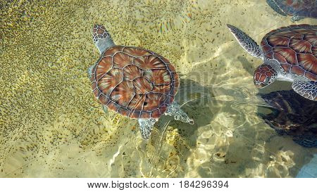 Chelonia mydas, also known as the green sea turtle