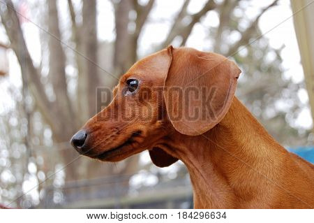 A Red Dachshund is alerted by a small butterfly in her territory.