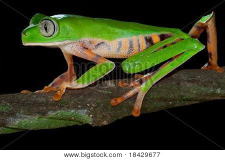 monkey tree frog closeup on a branch in tropical frog rain forest frog exotic animal with bright colors and big eyes endangered amphibian species from amazon frog jungle frog night black background