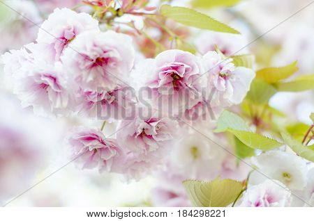 The blossoming branches of a Kanzan(flowering cherry)
