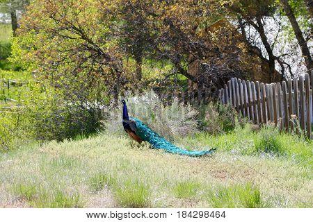 A gorgeous peacock enjoying a beautiful day in Durango, CO