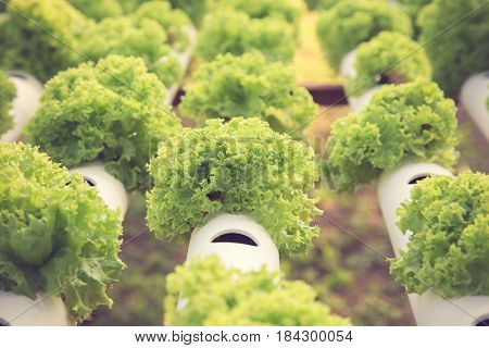 Hydroponics Method Of Growing Plants Using Mineral Nutrient Solutions, In Water, Without Soil. Close