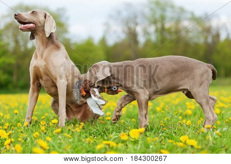 Cute Weimaraner Puppy Playing With A Plush Pheasant