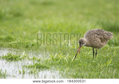 Marbled Godwit feeding on earthworms in a field at Lakeshore State Park during spring migration.