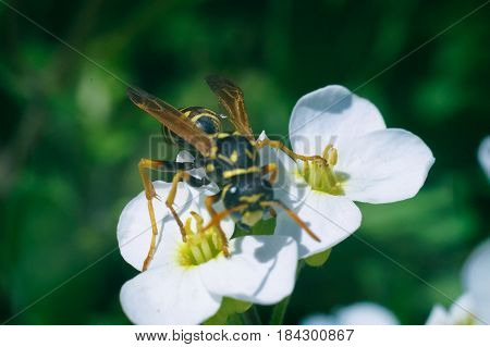 wasp on the white flower in sunny day of spring