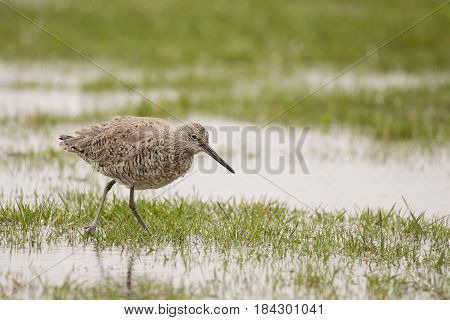 Willet feeding on earthworms in a field during spring migration.