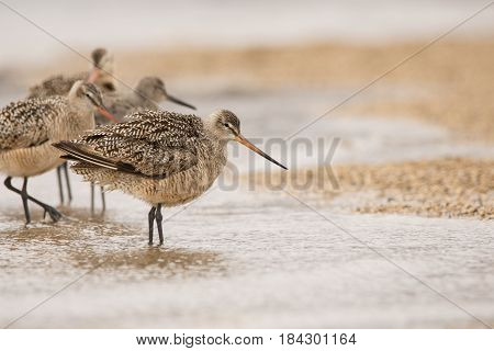 Marbled Godwits and Willet on a beach during spring migration.