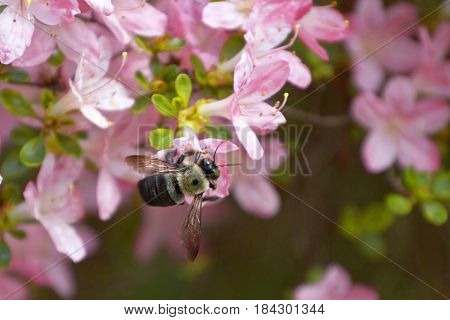 Close up of a carpenter bee pollinating a pink azalea flower in spring