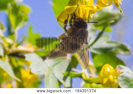 bee on the yellow flower in sunny day of spring with blue sky