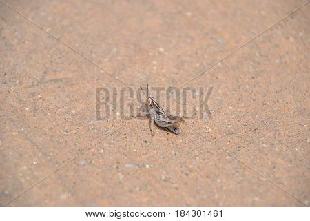very tiny grasshopper on a windy day in the high desert
