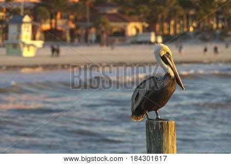 A watchful pelican stands sentry on a wooden post offshore in the waters of the Gulf of Mexico with colorful Clearwater Beach Florida blurred in the background