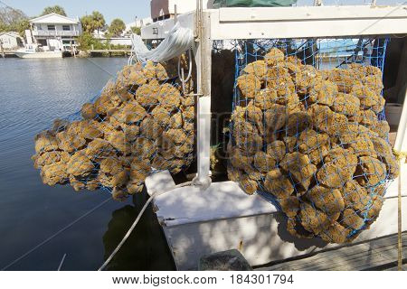 A blue fisherman's net on a docked boat holds a large harvest of natural sea sponges on a sunny day in Tarpon Springs Florida