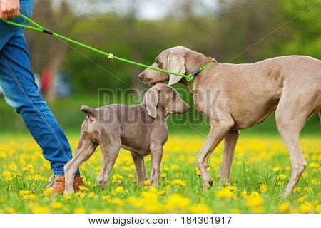 Woman With Weimaraner Adult And Puppy Outdoors