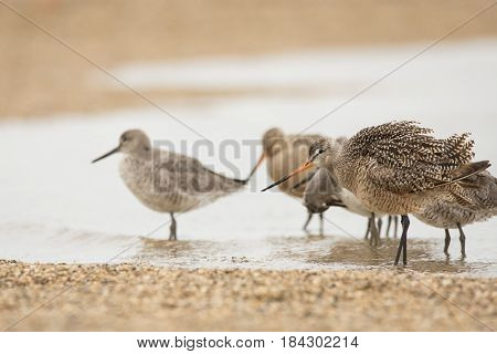 Marbled Godwits and Willets on a beach during spring migration.
