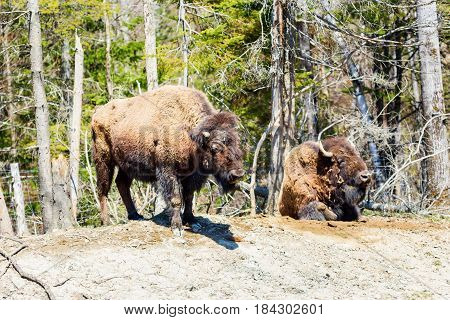 Buffalo resting in a national park in Northern Quebec, Canada.
