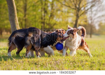 Four Australian Shepherd Fighting For A Ball