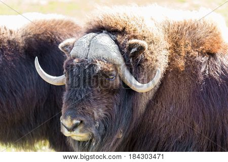 Musk Ox in a nature reserve in northern Quebec Canada.