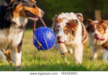 Australian Shepherd Dogs Running For A Ball